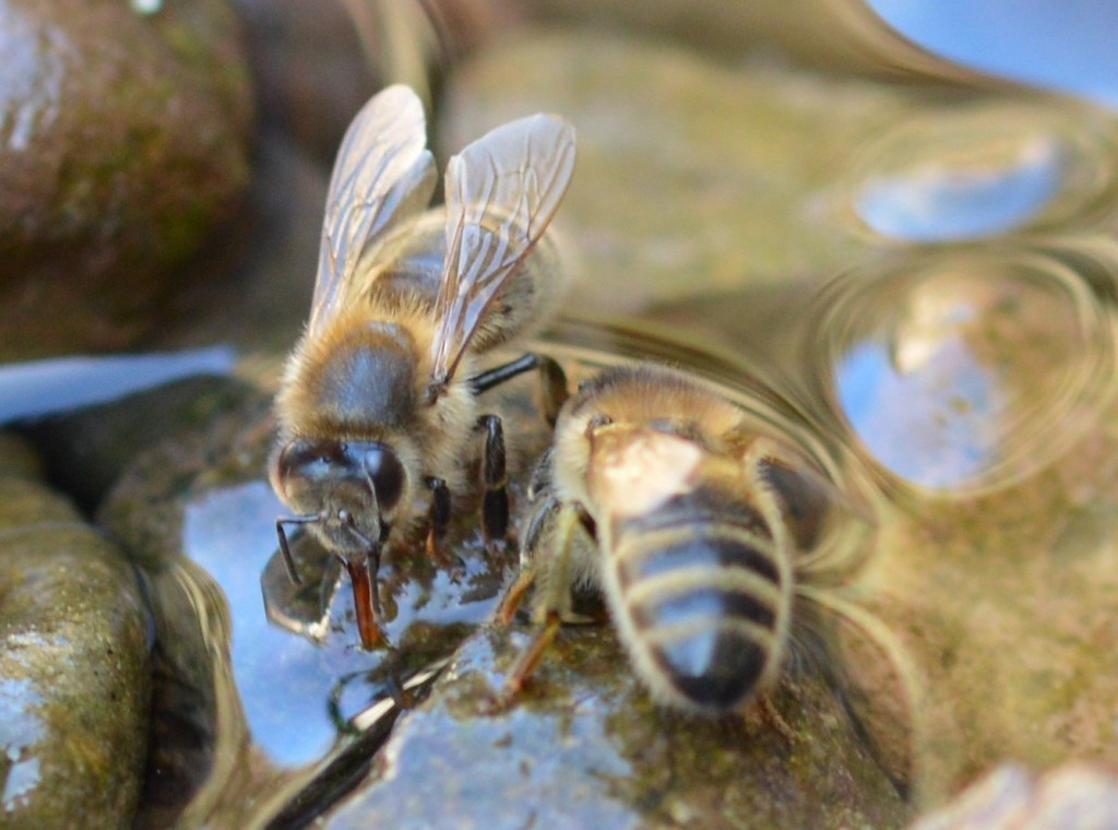 Why do Honey Bees Forage for Water?