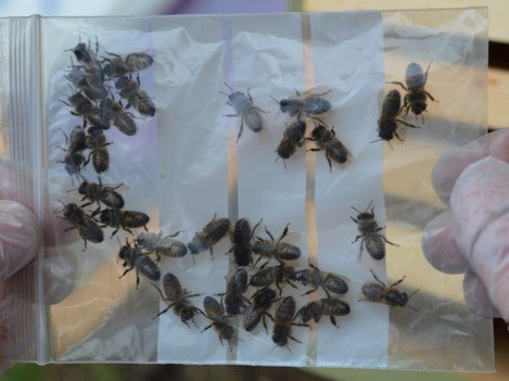 How to collect a sample of honey bees for adult disease analysis