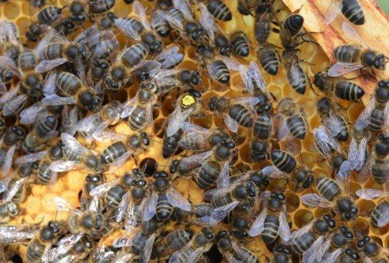 Apis mellifera mellifera – using DNA testing to establish honey bee ancestry