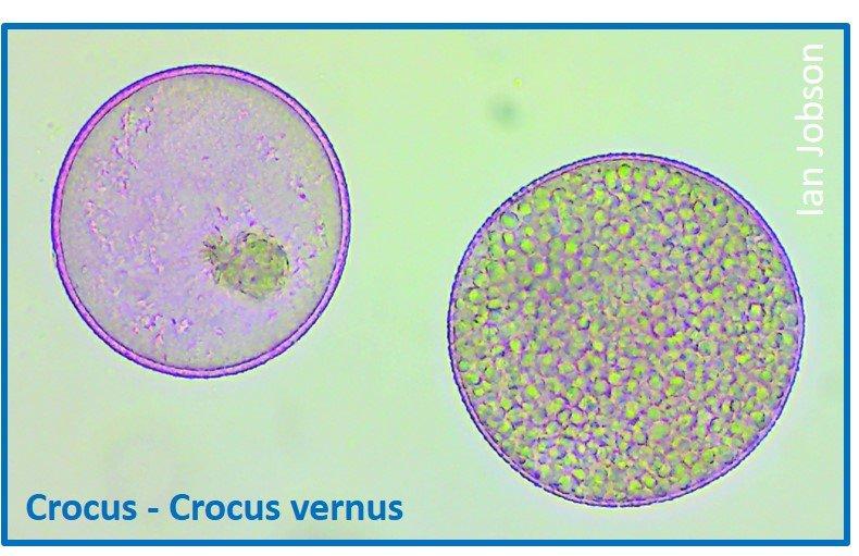 Crocus – Crocus vernus