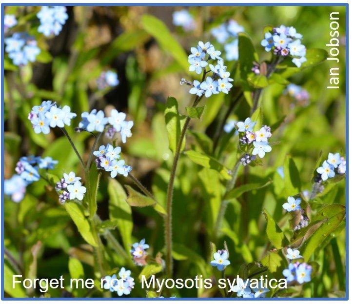 Myosotis Sylvatica Forget Me Not Flower Magnet