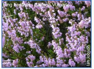 Ling heather