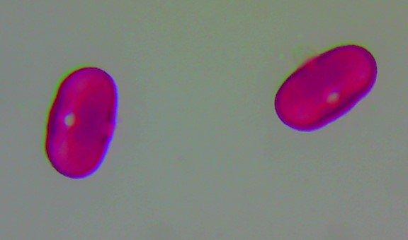 Hogweed – Heracleum sphondylium