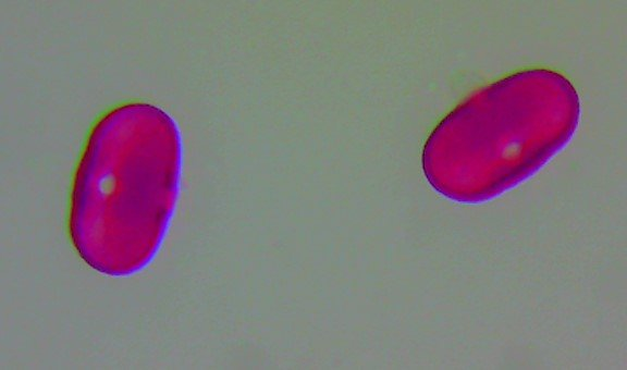 Hogweed – Heradeum sphondylium