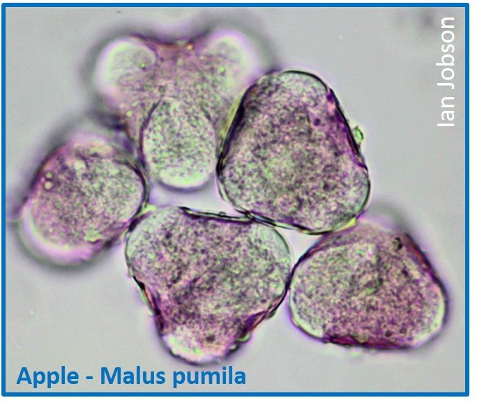 Apple – Malus pumila