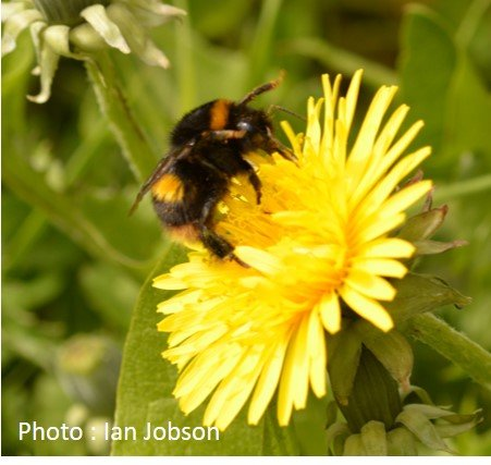 Bee – Bumble Bee – Bombus terrestris