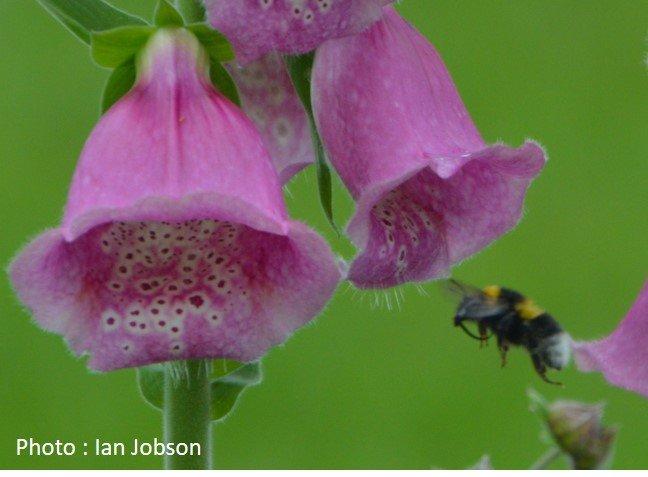 Bee – Bumble Bee – Bombus hortorum