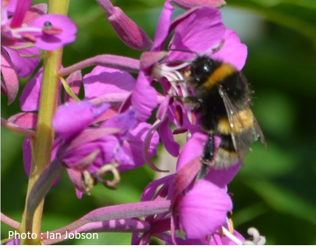 Bee – Bumble Bee – Bombus lucorum