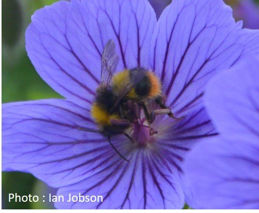 Bee – Bumble Bee – Bombus Pratorum