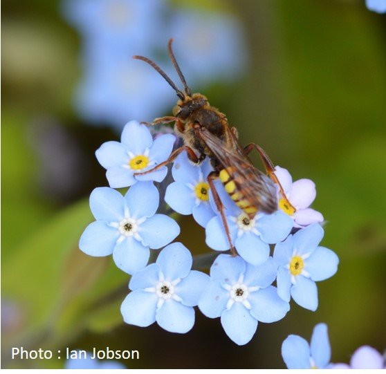 Bee – Nomad Bee – Nomada goodeniana