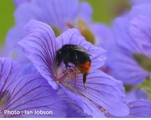 Bee – Bumble Bee – Bombus lapidarius