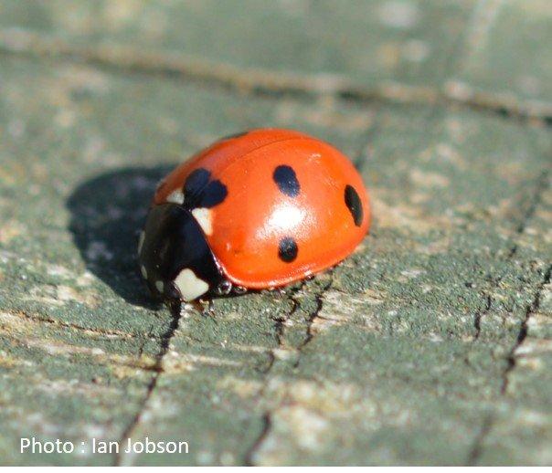 Beetle – Ladybird – 7 spotted