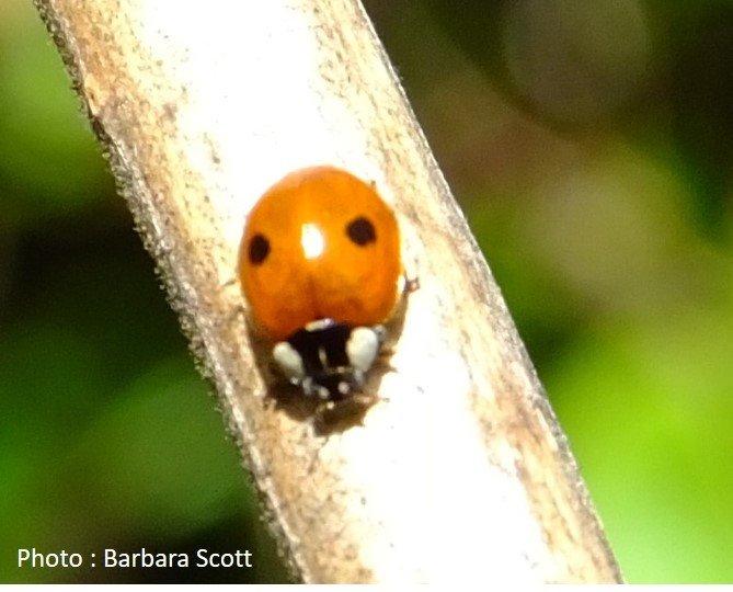 Beetle – Ladybird – 2 spotted