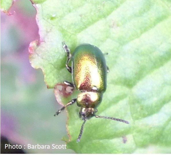 Beetle – Leaf Beetle – Gastrophysa viridula