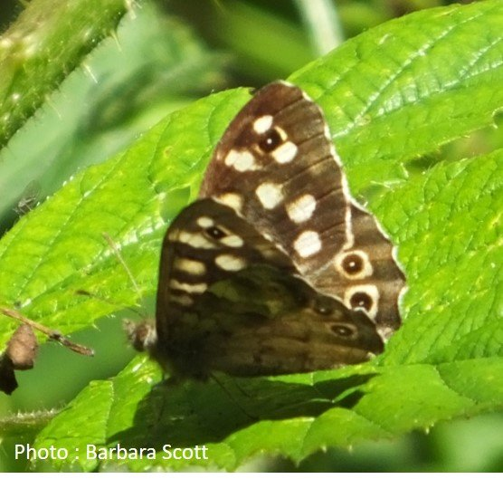 Butterfly – Browns – Speckled wood – Pararge aegeria
