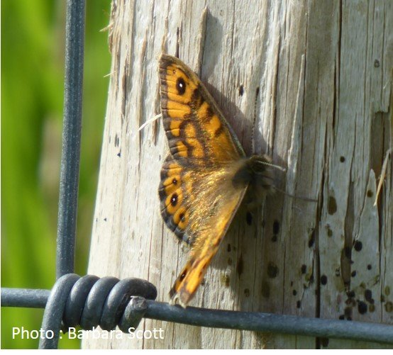 Butterfly – Wall brown – Lasiommata megera
