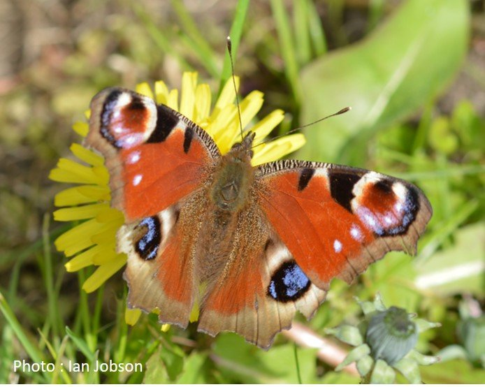 Butterfly – Peacock – Inachis io