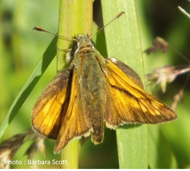 Butterfly – Large Skipper – Ochlodes venatus