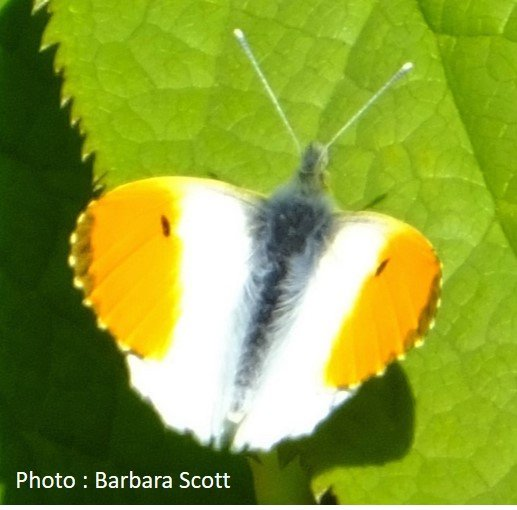 Butterfly – Orange Tip – Anthocharis cardamines
