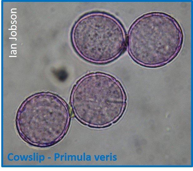 Cowslip – Primula veris