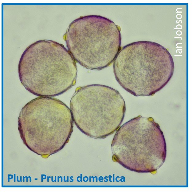 Plum – Prunus domestica