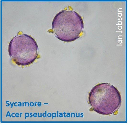 Sycamore – Acer pseudoplatanus