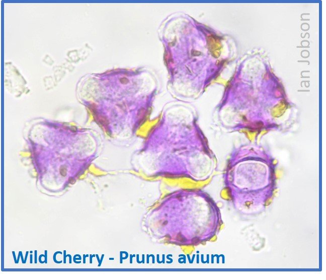 Wild Cherry – Prunus avium