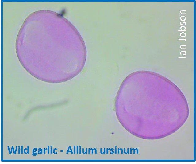 Wild garlic – Allium ursinum