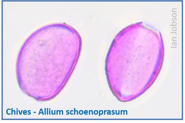 Chives – Allium schoenoprasum