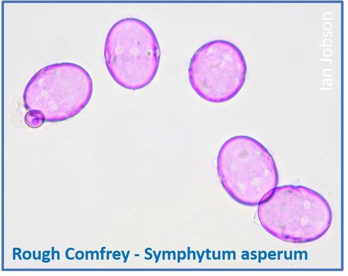 Rough Comfrey – Symphytum asperum