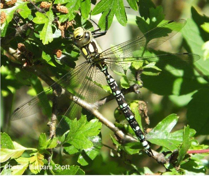 Dragonfly – Southern Hawker – Aeshna cyanea
