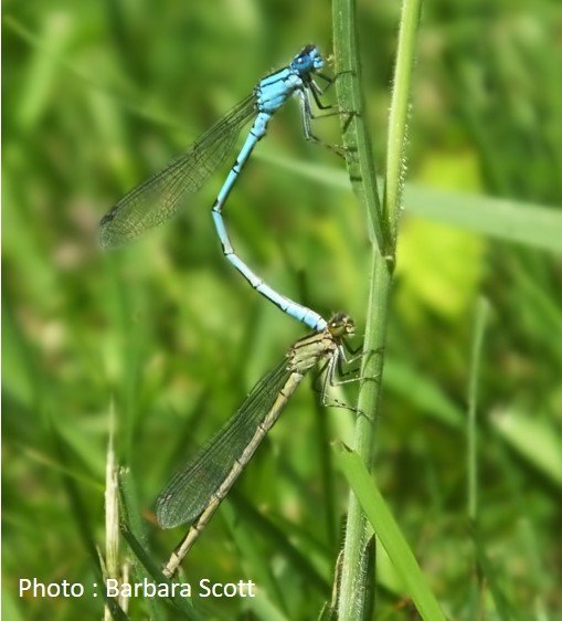 Dragonfly – Common Blue Damselfly – Enallagma cyathigerum