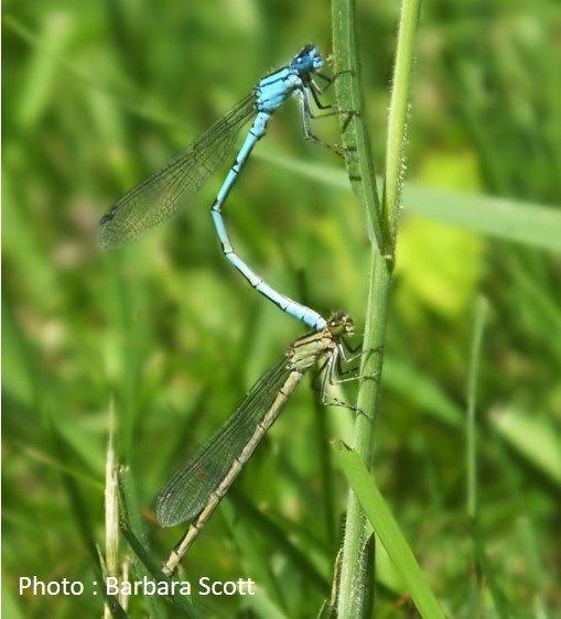 Dragonfly – Common Blue Damselfly – Enallagma cyathigerum