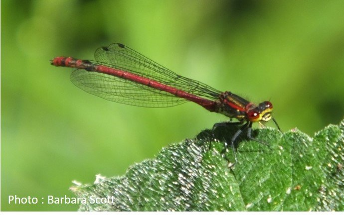 Dragonfly – Large Red Damselfly – Pyrrhosoma nymphula