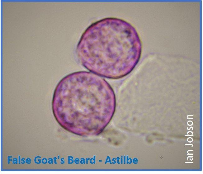 False Goat's Beard – Astilbe