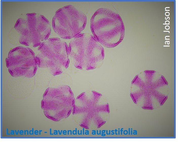 Lavender – Lavendula augustifolia