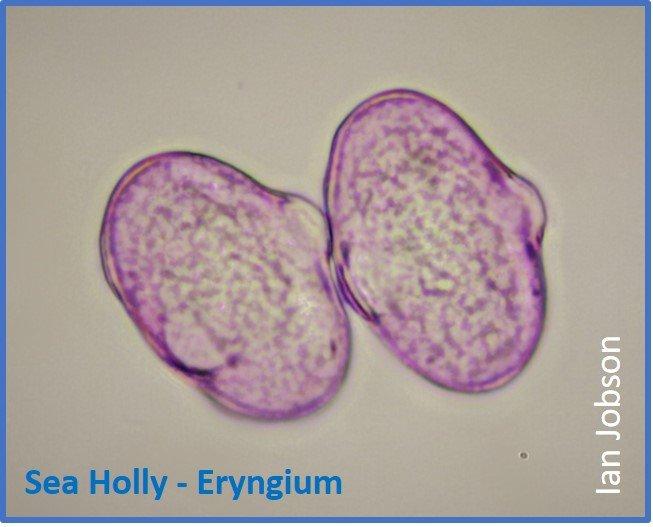 Sea Holly – Eryngium