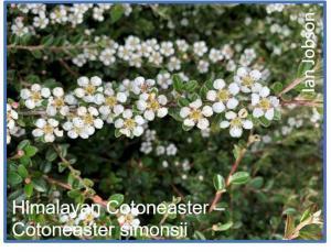 Himalayan Cotoneaster