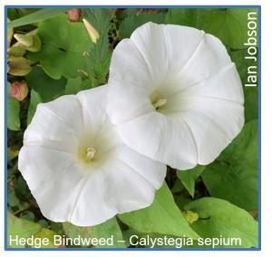 Hedge Bindweed