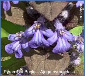 Pyramidal Bugle